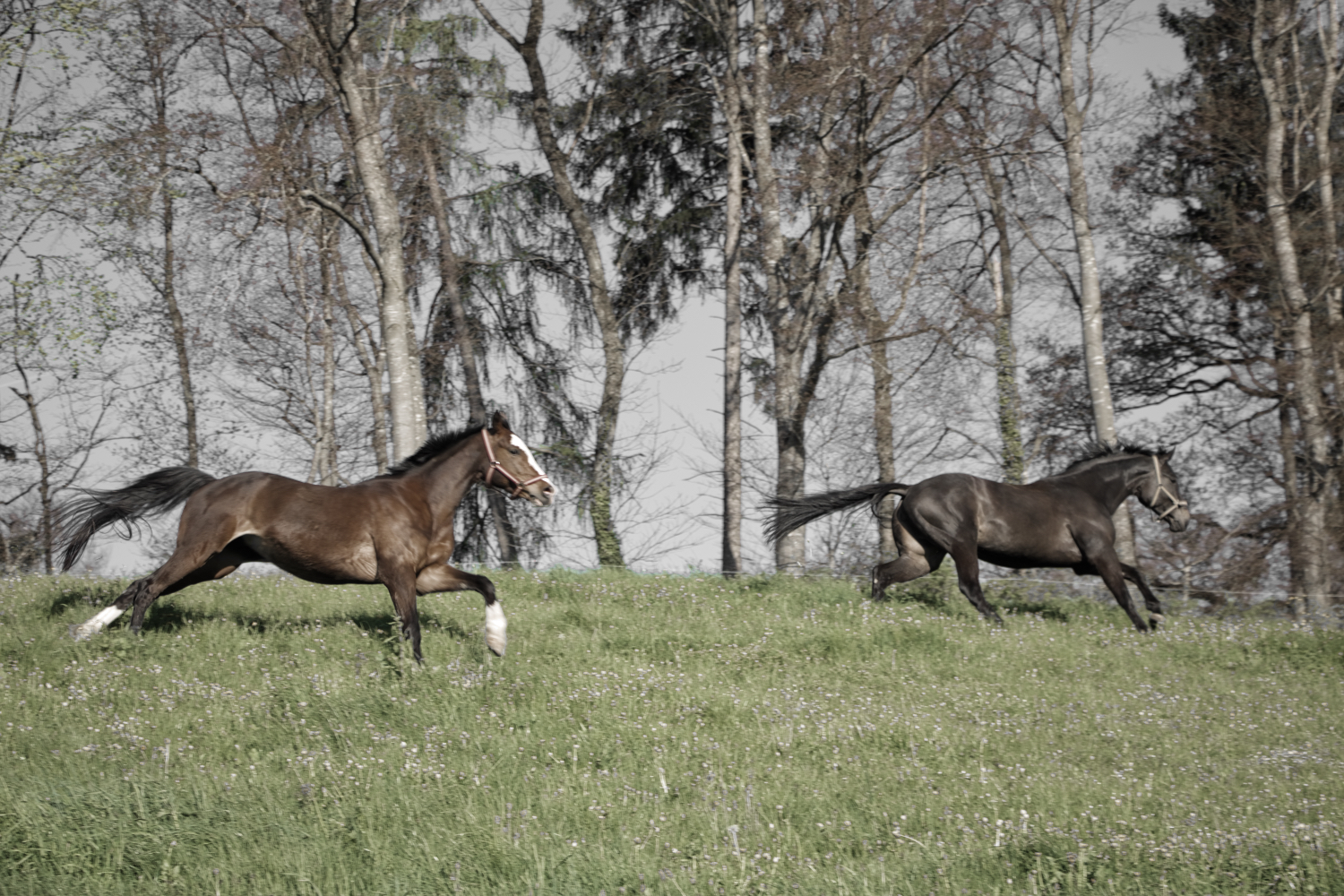 Chevaux_Galop